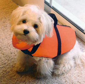 Here's Harley as a puppy. He wasn't crazy about having to wear the life jacket on the boat!